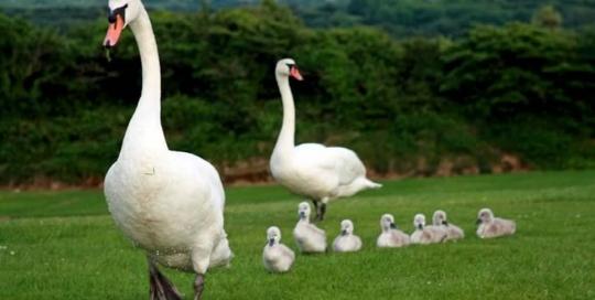 swan familiy