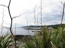 New Zealand Flax (2)